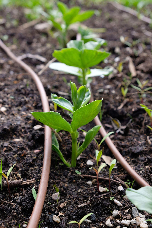 Broadbean seedlings