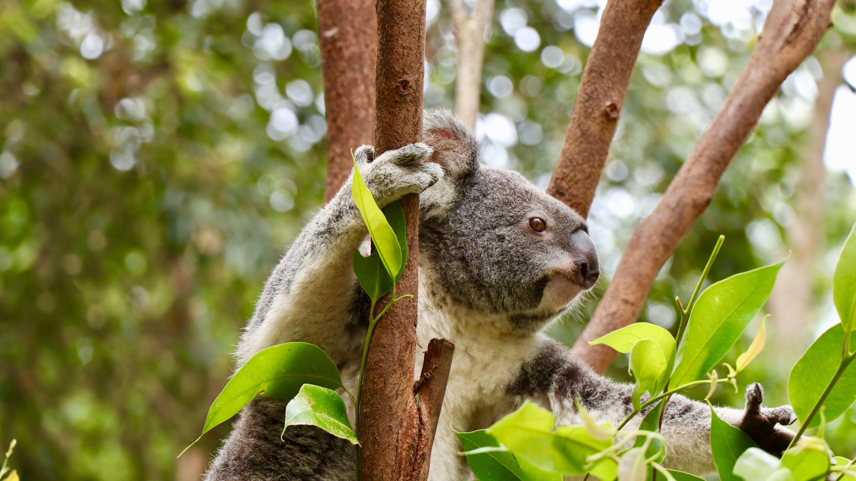 Koala wildlife skyler h unsplash