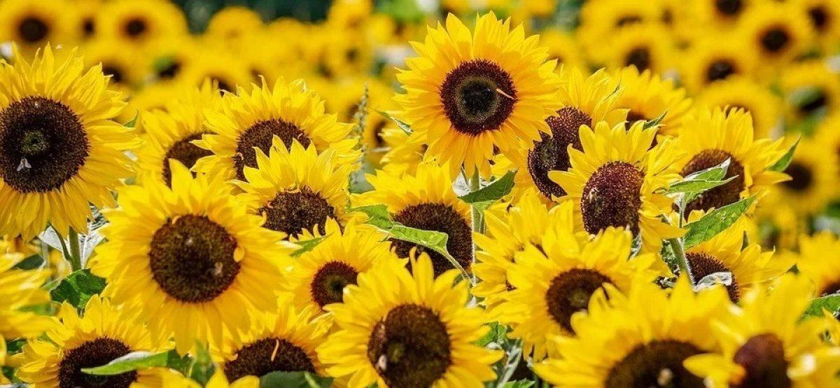 Library community gardening sunflower