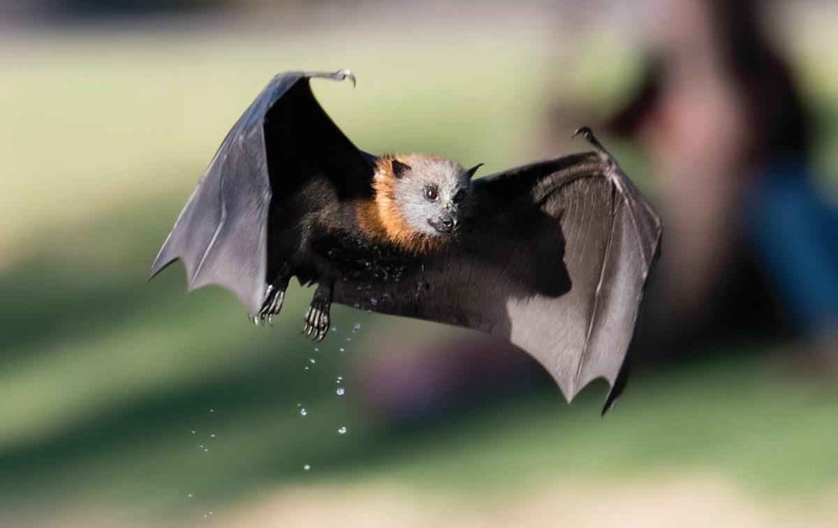 Bat ramble